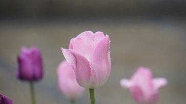 tulip-4178340__340