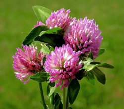 red-clover-4246842_960_720
